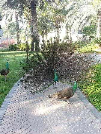 JA Palm Tree Court: peacocks!!!