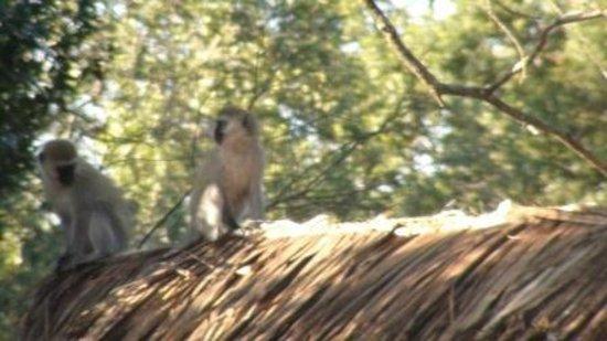 Mara Chui Camp : A monkey on the roof of room A5