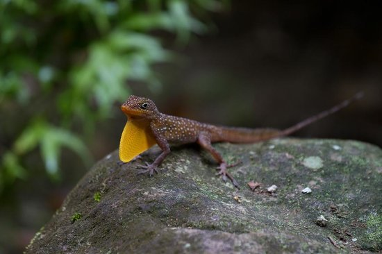Citrus Creek Plantation: Anolis oculatus - endemic in Dominica