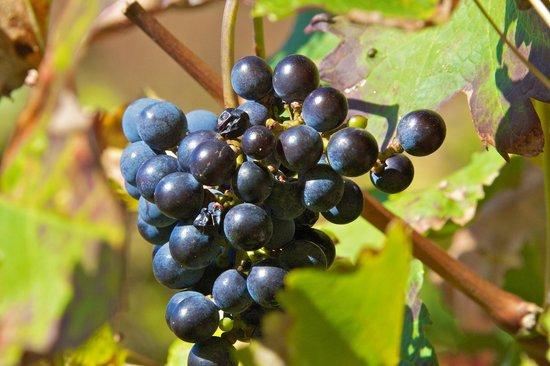 Warwick Wine Estate: Grape