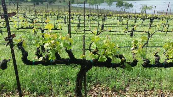 Quintessa Winery: Quintessa vineyard