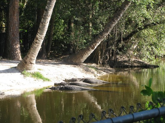 Naples Zoo at Caribbean Gardens : Alligators