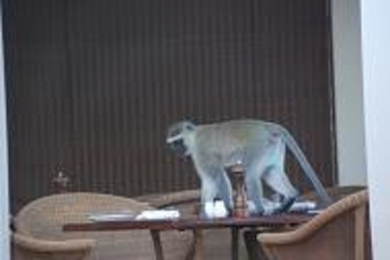 The Victoria Falls Hotel: A baboon joining us for breakfast