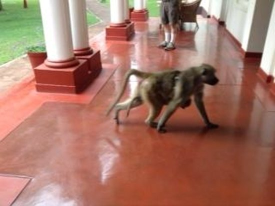The Victoria Falls Hotel: A baboon checking to see if the room door was left unlocked.