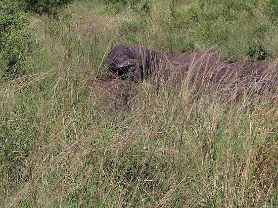 Anew Hotel Hluhluwe & Safaris: buffalo - hluhluwe