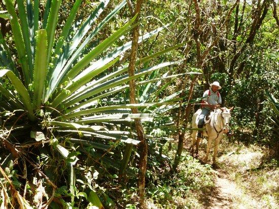 Rinconcito Lodge : Giant Tequila Cactus