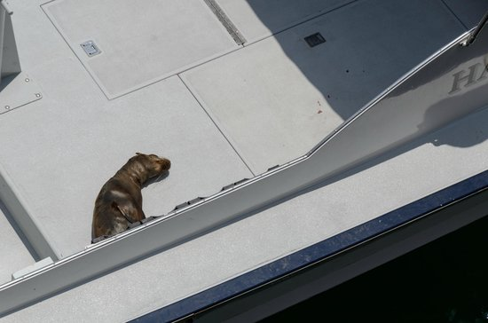 Santa Monica Pier: Seal sleeping on deck of boat moored at the end
