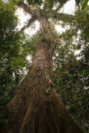 Cinco Ceibas Rainforest Reserve and Adventure Park : Large Ceibas Tree