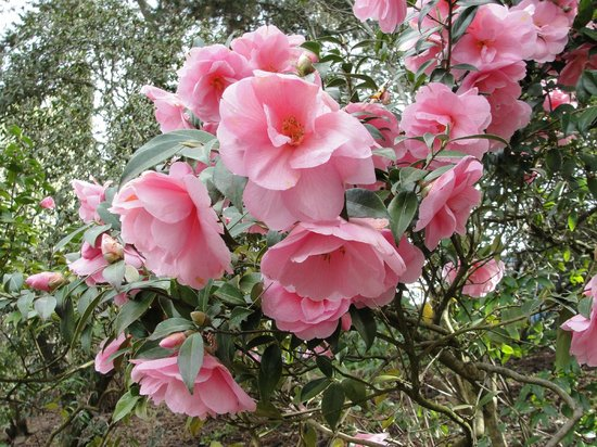 Crystal Springs Rhododendron Garden: Another lovely picture of the blooms