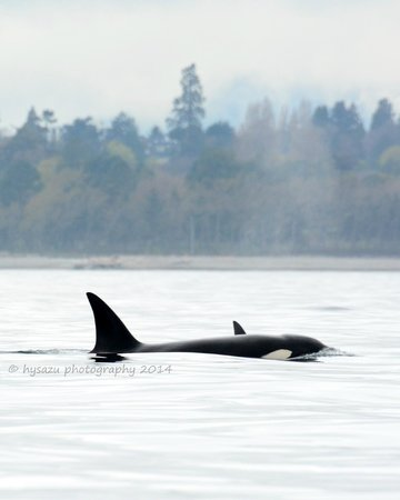Western Prince Whale & Wildlife Tours : Transient Killer Whale near Victoria