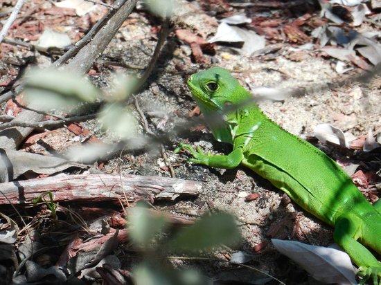 Courtyard Isla Verde Beach Resort: poolside iguana