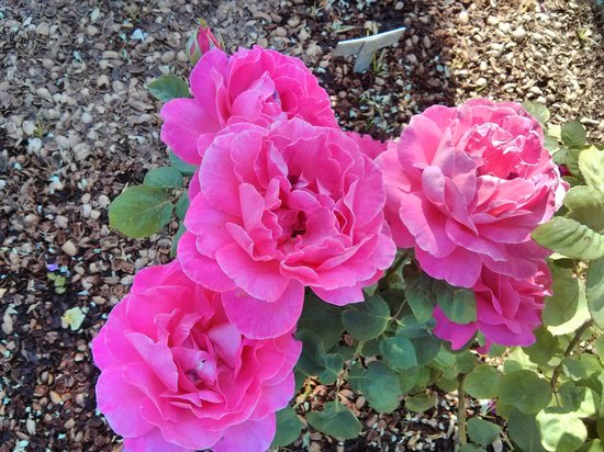 Roses In Garden: Spring And Fall Are Beautiful In The Rose Garden