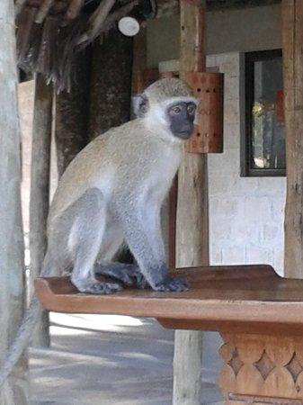 Kole Kole - Baobab Resort Diani: SCIMMMIETTA