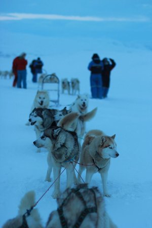 Eskimos - Day Tours : My dog sled team!