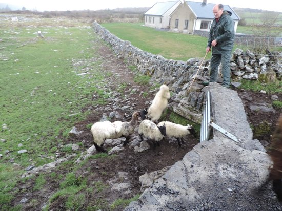 Caherconnell Stone Fort: John working his dog and flock