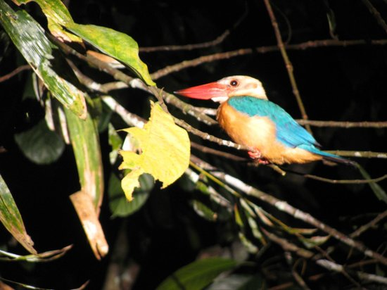Sukau Rainforest Lodge: goodnight pretty bird