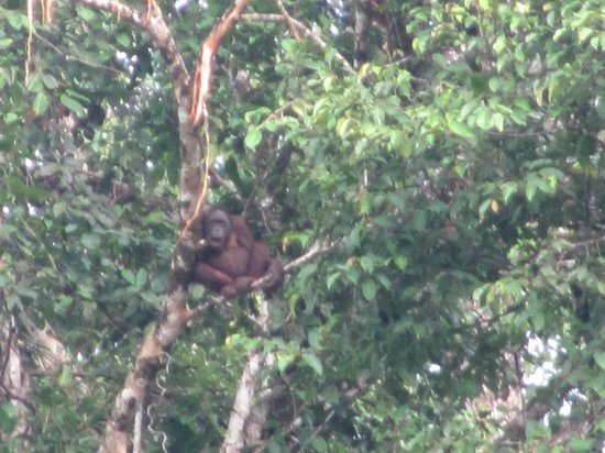 Borneo Rainforest Lodge: Orangutan
