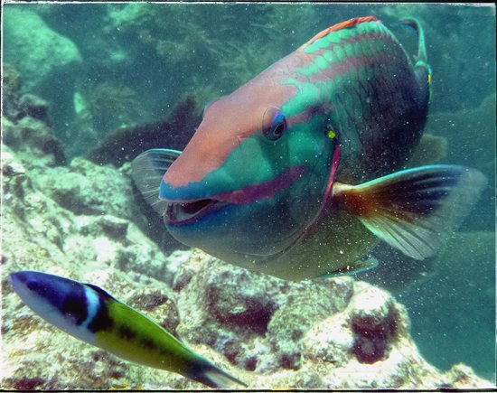 Namaste' Eco Excursions: Parrotfish up close and personal!
