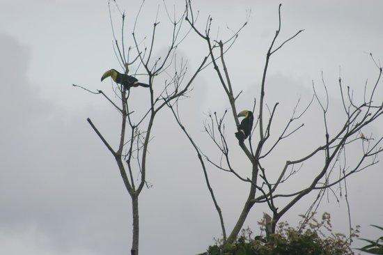 Bocas Ridge Hotel: Tucanes cerca del hotel