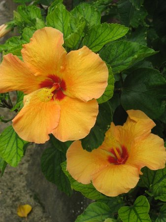 Crown Beach Resort & Spa: Beautiful colorful tropical flowers are everywhere