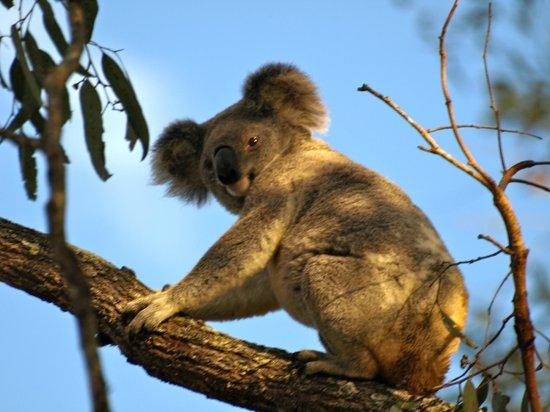 Amamoor, Australia: A visiting koala