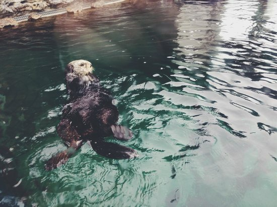 Seattle Aquarium : otter