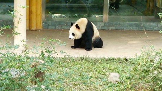 Guangzhou Zoo: こんにちはのパンダ♪