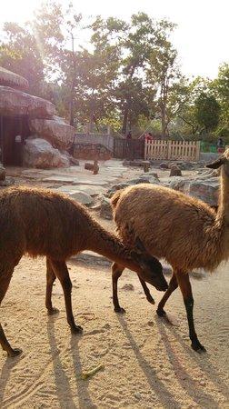 Guangzhou Zoo: ラマ?