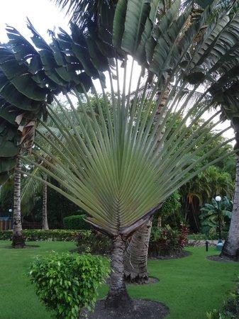 Grand Bahia Principe Punta Cana: unusual palm