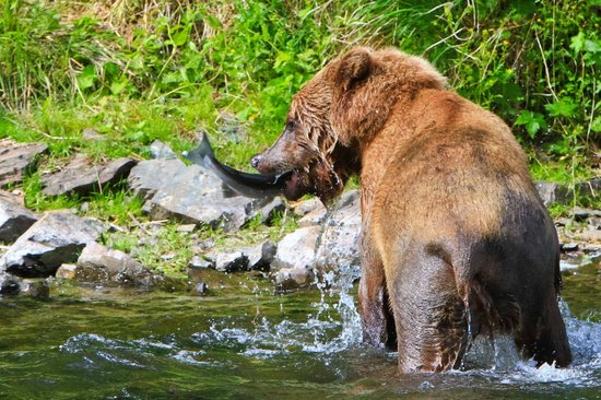 Talon Air Service: The young Brown bear finally get's his fish!