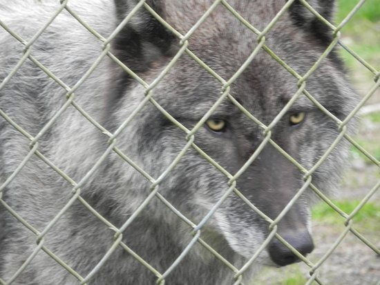 Wolf Haven International: One of the wolfs.