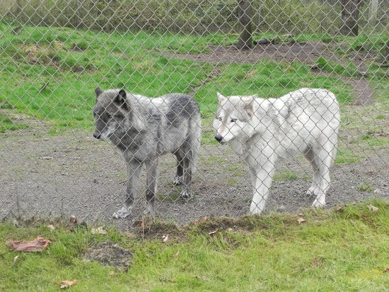 Wolf Haven International: A couple of wolfs.