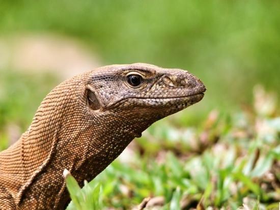 The Palms Hotel: a land monitor lizard