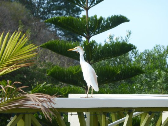 Grooms Beach Villas and Resort: An Egret also feels  fine in that area