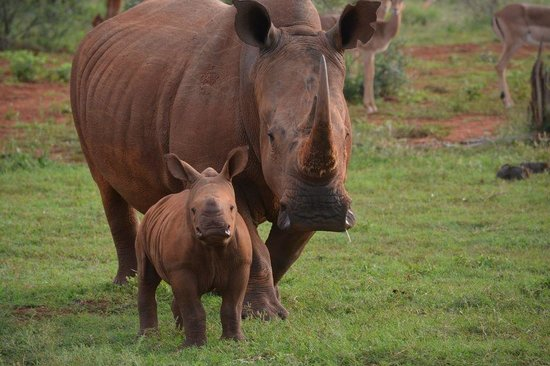 Madikwe Hills Private Game Lodge: Cute baby rhino