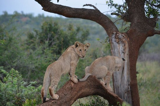 Madikwe Hills Private Game Lodge: Cubs playing