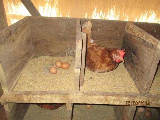 Morgan's Rock Hacienda and Ecolodge : Fresh eggs on farm for guests