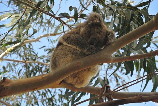 Hanson Bay Wildlife Sanctuary: Koala 2