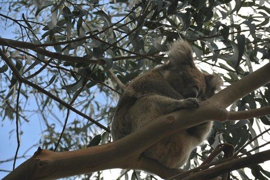 Hanson Bay Wildlife Sanctuary: Koala 1