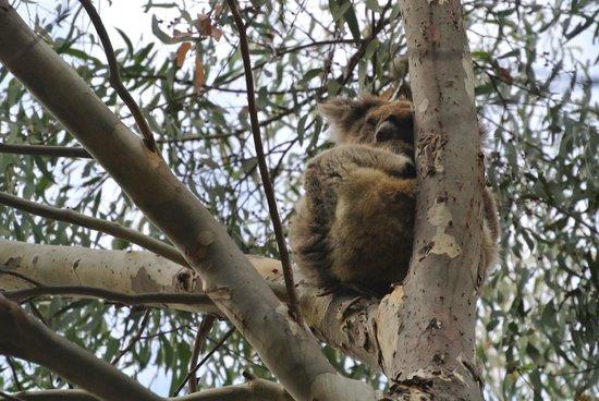 Hanson Bay Wildlife Sanctuary: Koala 3