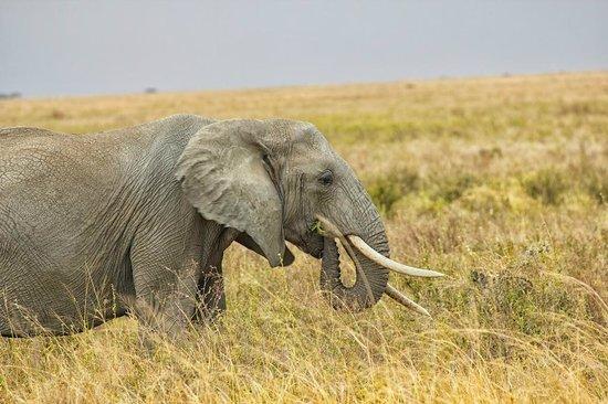 Seronera : Elephant