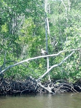 Captain Jack's Airboat Tours: Osprey eating a fish