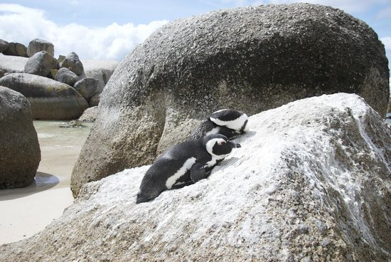 Simon's Town, Südafrika: Penguins Sunbathing