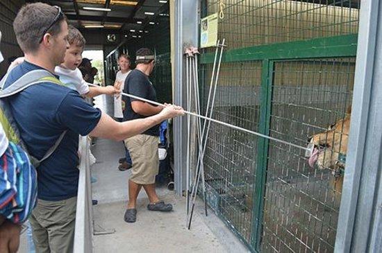 Big Cat Habitat and Gulf Coast Sanctuary: Feeding the Lion
