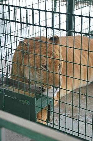 Big Cat Habitat and Gulf Coast Sanctuary: Liger= Female Tiger crossed with Male Lion