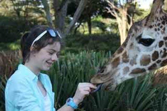 Giraffe Manor : Giraffe feeding