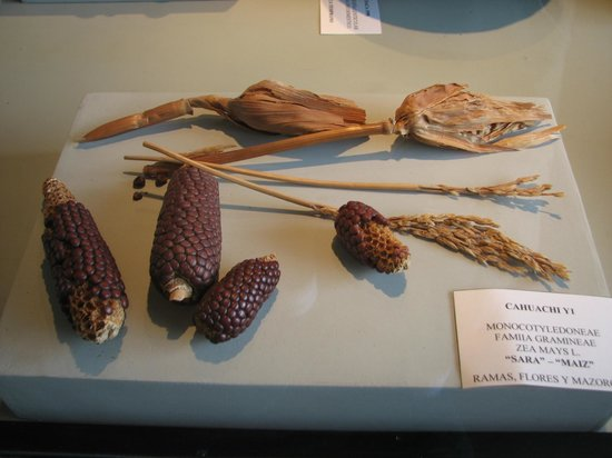 Didactic Museum Antonini (Museo Antonini): Tipos de milho