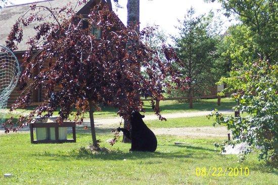 Deer Ridge Resort : Bear