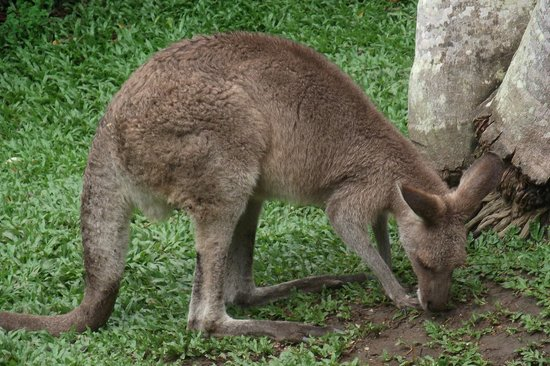 Kuranda Koala Gardens: Wallaby