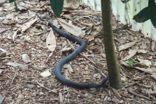 Kuranda Koala Gardens: Snake